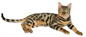 The Bengal. Behold and be in awe.