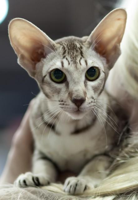 Cat Café: DFW Purebred and Domestic Cat Rescue, Meet the ...