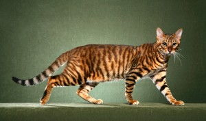 The Toyger: Little tiger in your house.