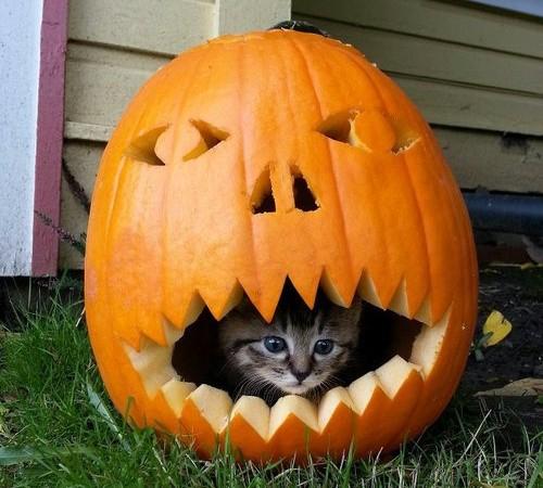 cat in pumpkin