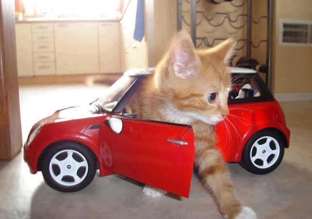 cat in red car