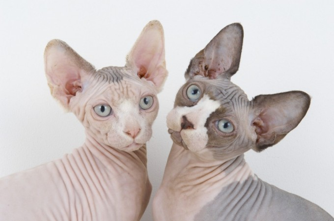 The Sphynx: Is there any cat so cuddly? Answer: no.